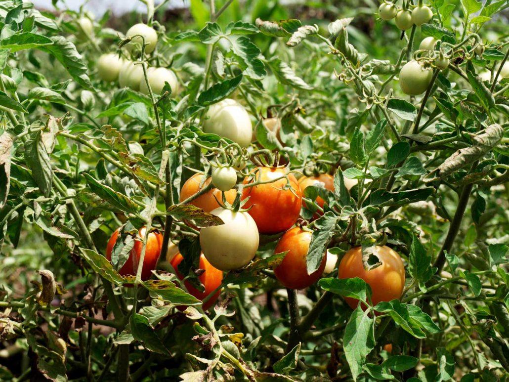 Tomaten in der Trockenzeit